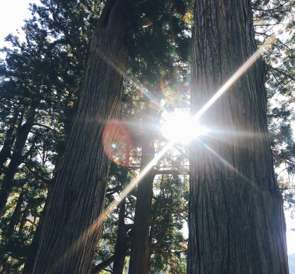 杉木立から差し込む朝日