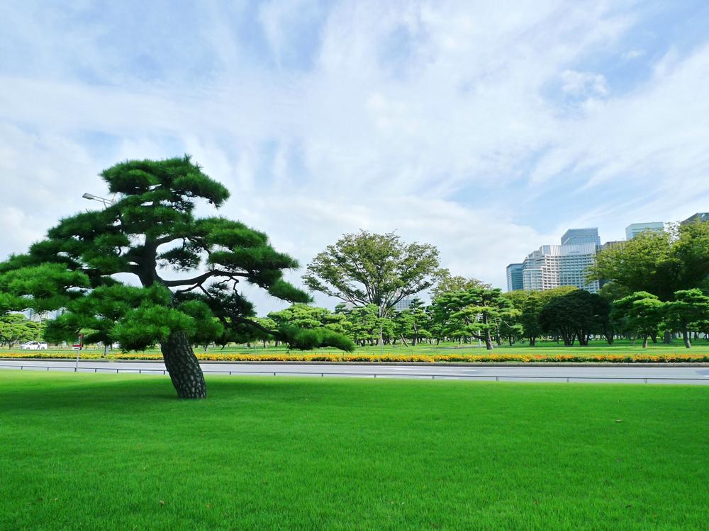 皇居外苑の松