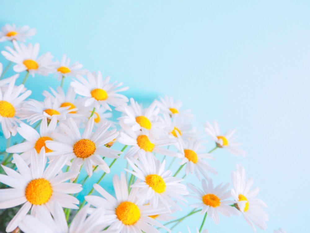 マーガレットの花